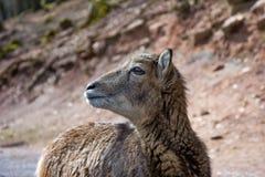 Het portret van een hert royalty-vrije stock foto