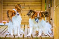 Het portret van een papillon purebreed honden royalty-vrije stock foto's