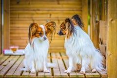 Het portret van een papillon purebreed honden stock foto