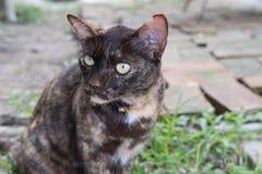 Het portret van een woeste bruine kattenzitting op grond en bekijkt som Stock Foto