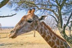 Het portret van het girafprofiel Stock Foto