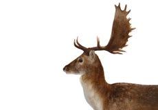 Het portret van herten Royalty-vrije Stock Afbeeldingen