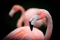 Het Portret van het flamingoprofiel stock foto