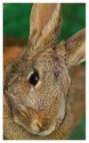 Het portret van het konijntje Stock Foto