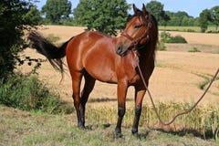 Het portret van het kwartpaard Stock Foto's