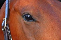 Het portret van het kwartpaard Stock Foto
