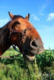 Het portret van het kwartpaard Royalty-vrije Stock Afbeelding