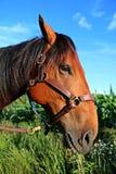 Het portret van het kwartpaard Royalty-vrije Stock Foto