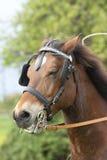 Het portret van het paard Royalty-vrije Stock Afbeelding