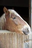 Het portret van het paard Stock Foto's