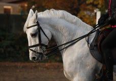 Het portret van het paard Stock Foto