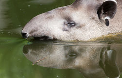 Het portret van het profiel van Zuidamerikaanse tapir in het water Royalty-vrije Stock Foto