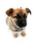 Het portret van het puppy Royalty-vrije Stock Foto