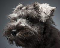 Het portret van het Schnauzerpuppy op een donkere studioachtergrond Stock Fotografie