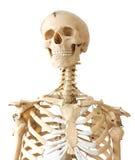 Het portret van het skelet Stock Foto's