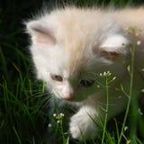 Het portret van het witte Perzische katje Stock Afbeelding