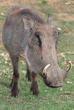 Het Portret van het wrattenzwijn Stock Foto's