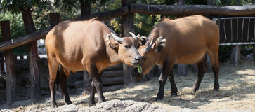 Het portret van kaapbuffels Stock Foto's