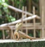 Het portret van kameleon Stock Foto