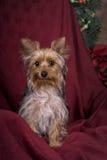 Het Portret van Kerstmis van Yorkshire Terrier Royalty-vrije Stock Foto