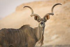 Het portret van Kudu Royalty-vrije Stock Foto