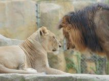 Het portret van leeuw en leeuwin, grappige verhouding, concentreerde zich op de leeuwin, vrouwelijke  royalty-vrije stock foto