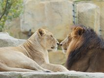 Het portret van leeuw en leeuwin, grappige verhouding, concentreerde zich op de leeuwin, vrouwelijke  royalty-vrije stock foto's