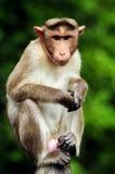 Het Portret van Macaque van de bonnet Stock Afbeelding