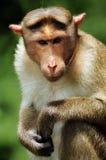 Het Portret van Macaque van de bonnet Royalty-vrije Stock Foto's