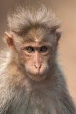 Het Portret van Macaque van de bonnet royalty-vrije stock afbeeldingen