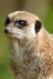 Het portret van Meerkat Stock Afbeelding