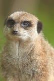 Het portret van Meerkat Royalty-vrije Stock Foto's