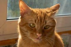 Het portret van mooie metis rode kat dichtbij het venster in het huis ziet eruit royalty-vrije stock fotografie