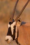 Het portret van Oryx Stock Foto's