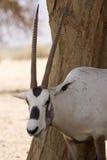 Het portret van Oryx Stock Afbeeldingen