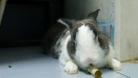 Het portret van oud konijn eet groene Groente terwijl rust 4k lengte stock videobeelden