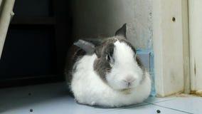 Het portret van oude konijnrust en neus is fiddle 4k lengte stock footage