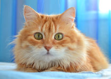Het portret van rode kat Royalty-vrije Stock Afbeeldingen