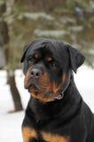 Het portret van Rottweiler Royalty-vrije Stock Foto