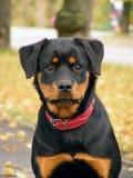 Het portret van Rottweiler Royalty-vrije Stock Fotografie