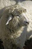 Het portret van schapen Stock Fotografie
