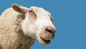 Het portret van schapen Stock Foto