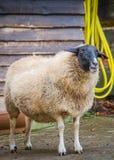 Het portret van schapen Stock Afbeeldingen
