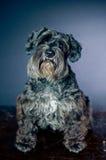 Het portret van Schnauzer Royalty-vrije Stock Foto's