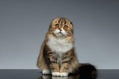 Het portret van Schotse Vouwen Cat Looking in camera en zit op Grijs royalty-vrije stock afbeelding