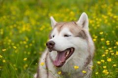 Het portret van Siberische schor van het grappige beige en witte hondras is op het boterbloemengebied in de zomer Royalty-vrije Stock Foto's