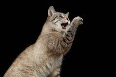 Het portret van Thaise Cat Raising handtastelijk wordt omhoog met geopende mond royalty-vrije stock foto