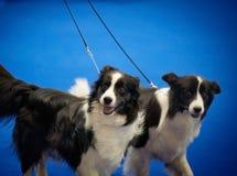 Het portret van twee grenscollies bij de prijsring op hond toont Stock Foto