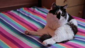 Het portret van vrij grappige zwarte een witte kat zit op een bank stock video