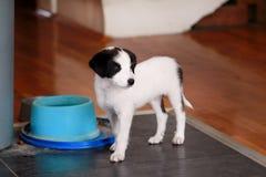 Het portret van weinig puppy de vrouwelijke hond voor fotospruit stelt, sluit omhoog Klein gemengd ras, aanbiddelijke puppy en ha royalty-vrije stock fotografie